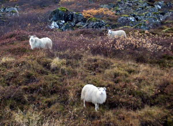 4_Goats
